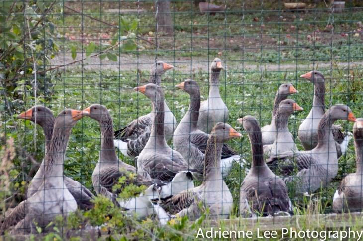 Klato Geese